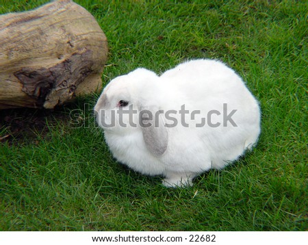 White Rabbit resting in the grass - stock photo