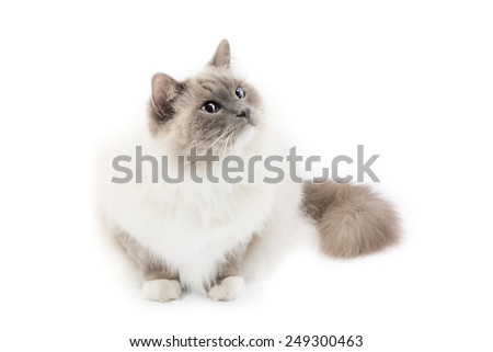 White ragdoll cat isolated on a white background - stock photo