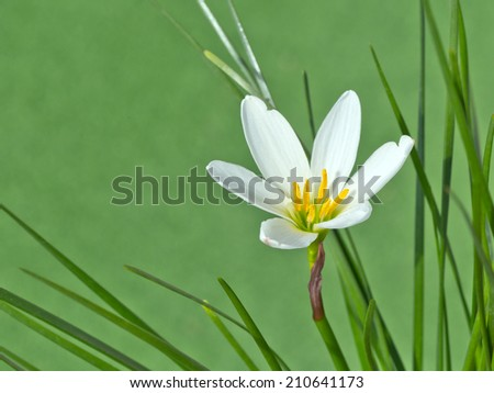 White rain lily, white zephyr lily, Zephyranthes candida - stock photo