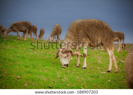 White ram sheep grazing in a green grass - stock photo