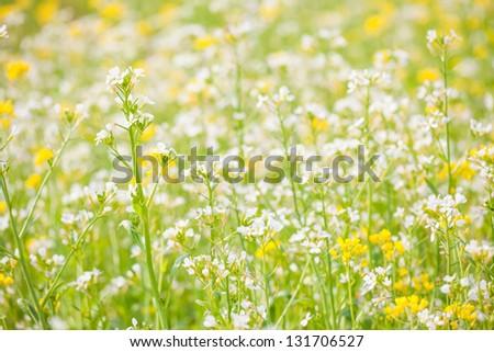 white rape flower blooming in spring under sunshine - stock photo