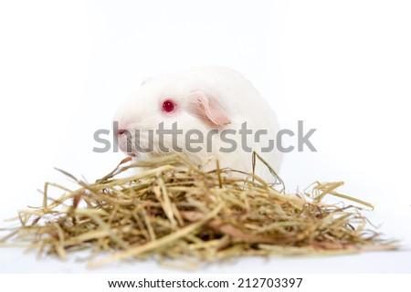white rat isolated - stock photo