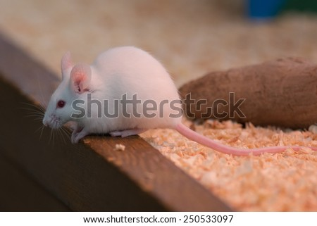 White rat or white mouse. - stock photo