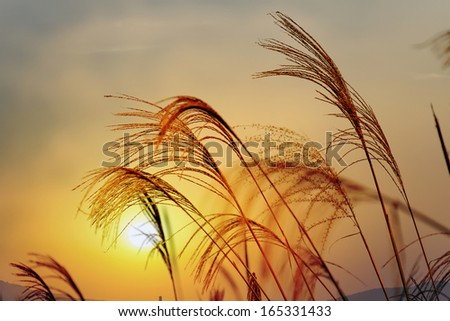 white reeds field in the sunset - stock photo