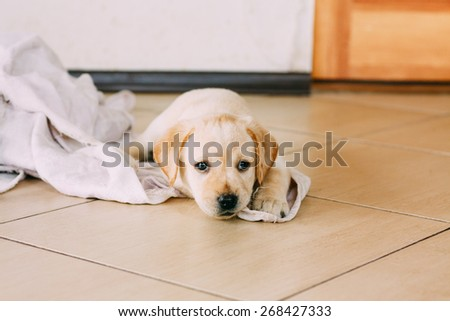 White Retriever Puppy Of 6 Weeks Old Sit On Floor - stock photo