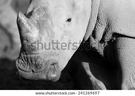 White rhino are the largest member of the rhino family - stock photo