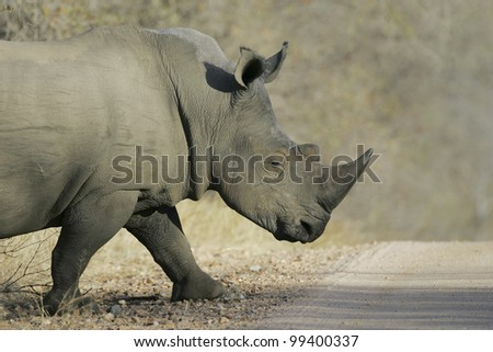 White Rhino Bull (Ceratotherium simum) crossing a road in South Africa's Kruger Park - stock photo