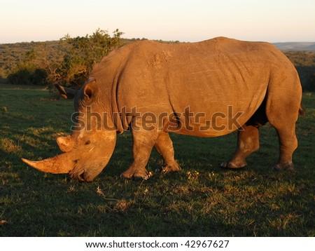 White Rhino bull grazing at sunset. - stock photo