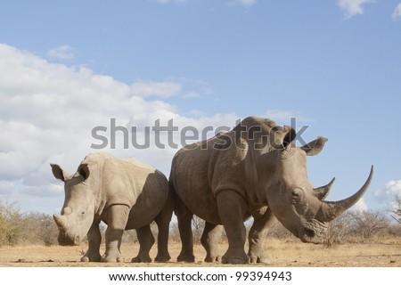 White Rhino (Ceratotherium simum) female and calf, South Africa - stock photo