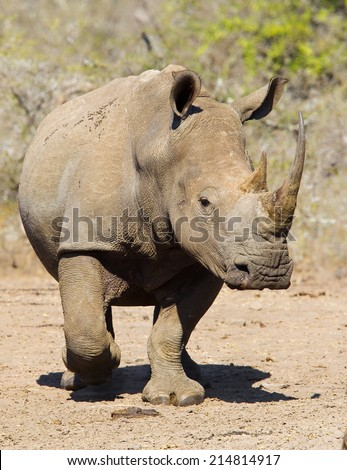 White Rhino (Ceratotherium simum) walking towards the camera on bare ground against a blurred natural setting - stock photo