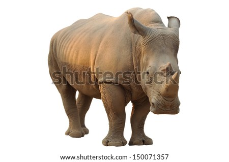 White rhino has a wide mouth used for grazing and is the most social of all rhino species. - stock photo