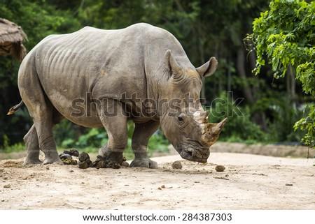 White rhino in the zoo. - stock photo