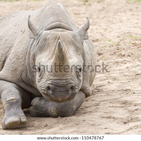 White rhino on dry soil - stock photo