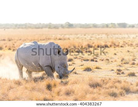 White Rhino or Rhinoceros marking territory while on safari in Botswana, Africa - stock photo