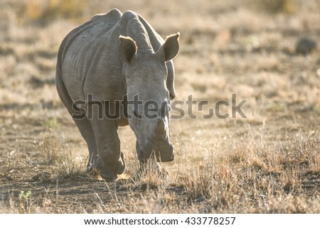 White rhino walking over dry dusty ground, Kruger National Park - stock photo