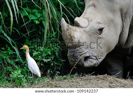 White rhino with a cattle egret - stock photo