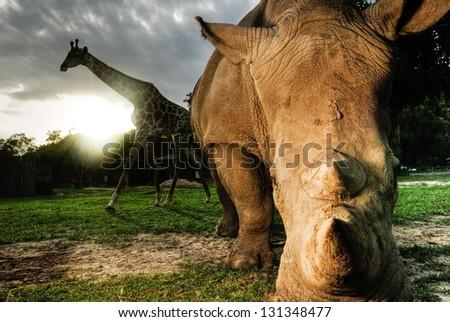 White rhinoceros and Giraffe - stock photo