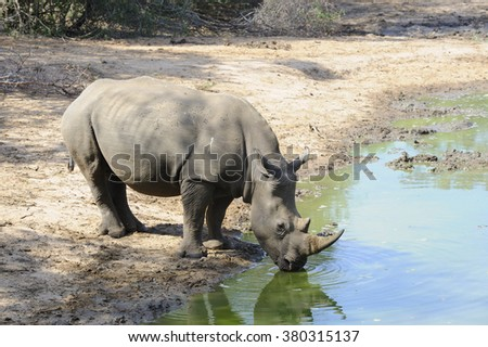 White Rhinoceros (Ceratotherium simum).  at shrinking waterhole in a deep drought. Zululand, South Africa.  Rhinos are being poached  faster than they can reproduce. fast vanishing from African wilds. - stock photo