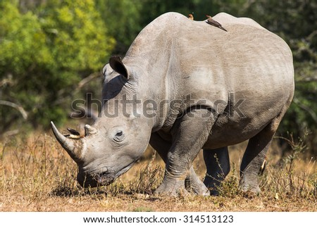 White Rhinoceros (Ceratotherium Simum) - Kruger National Park (South Africa) - stock photo