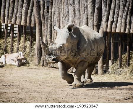 White rhinoceros (Ceratotherium simum simum) and Addax (Addax nasomaculatus). - stock photo