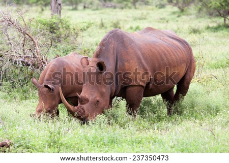 White rhinoceros family. South Africa, Kruger National Park. - stock photo