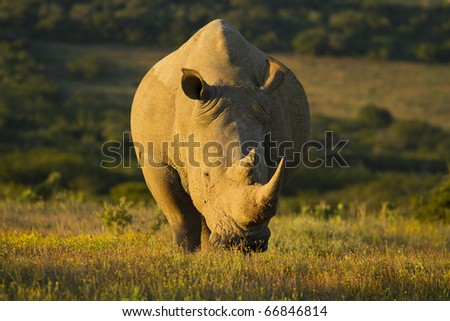 White rhinoceros grazing in late afternoon light - stock photo