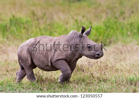 White rhinoceros or square-lipped rhinoceros (Ceratotherium simum) baby in Lake Nakuru National Park, Kenya. The white rhinoceros is one of the five species of rhinoceros that still exist. - stock photo