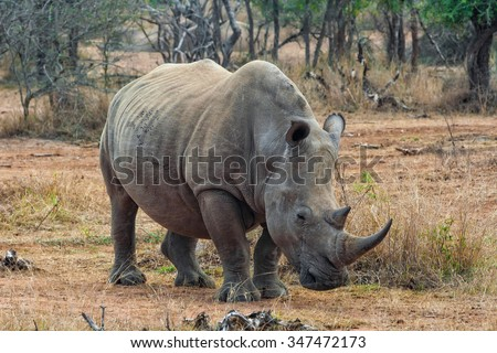 White rhinoceros or square-lipped rhinoceros (Ceratotherium simum) in Hlane Royal National Park, Swaziland. The white rhinoceros is one of the five species of rhinoceros that still exist. - stock photo