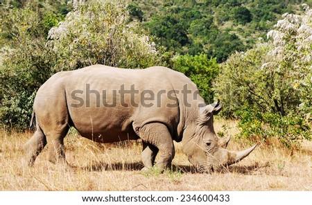 White Rhinoceros or Square-lipped rhinoceros (Ceratotherium simum) near the Masai Mara National Reserve southwestern Kenya. - stock photo