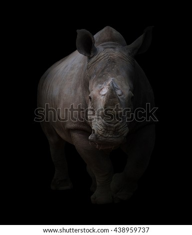 white rhinoceros, square-lipped rhinoceros in dark background - stock photo