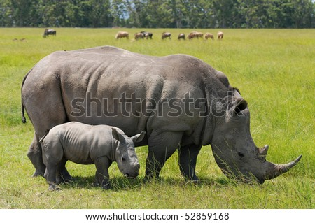 white rhinoceros with 2 weeks calf - stock photo