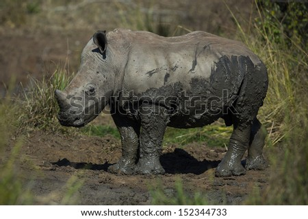 White rhinoceros young, South Africa - stock photo