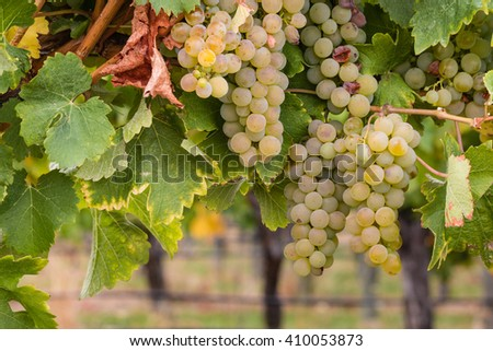 white riesling grapes on vine in vineyard - stock photo