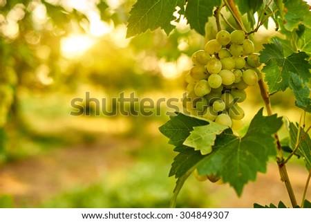 White ripe grape clusters - stock photo