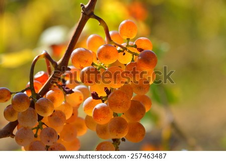 white ripen grapes in the vineyard in autumn - stock photo