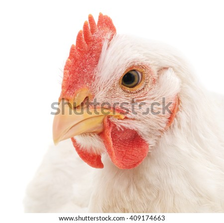 White rooster isolated on a white background. - stock photo