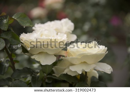 White Rose Blooming in a Garden - stock photo