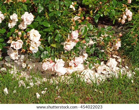 White rose bush with lot of petals fallen on ground.         - stock photo
