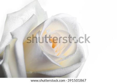 White rose close up - stock photo