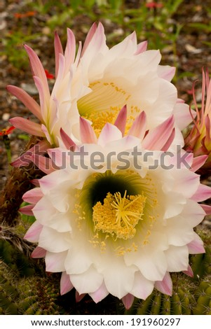 White, Rose Colored Cactus Flowers - stock photo