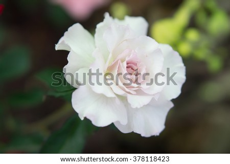 White rose flower blossom on soft natural background.White and pink rose blossom. Macro. - stock photo