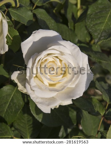 white rose, green garden backgound - stock photo