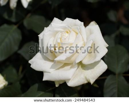 White rose in garden - stock photo