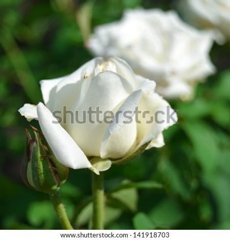 White rose in the garden - stock photo