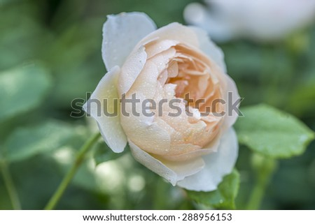white  rose  is a woody perennial of the genus Rosa, within the family Rosaceae - stock photo