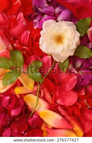 White rose laying in a bed of multicolored rose petals. - stock photo