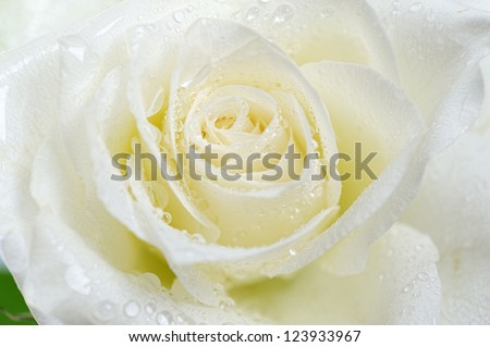 white rose macro - stock photo