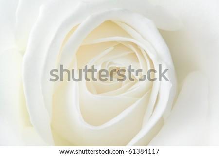 White rose. Macro - stock photo