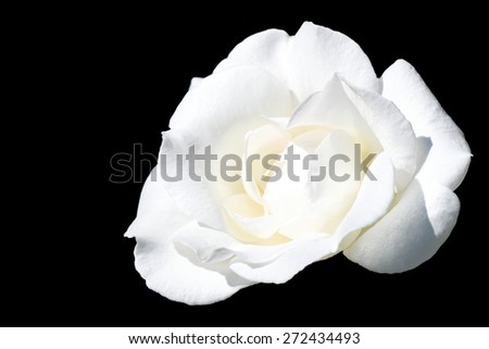 white rose on black - natural flower passion perfume elegant smell beautiful happy garden purity - stock photo
