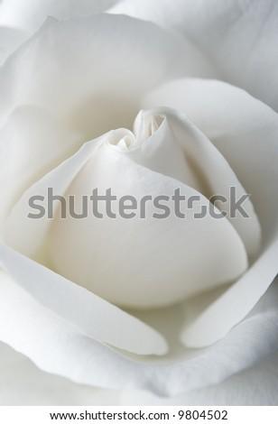 White rose texture macro - stock photo